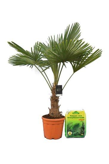 Trachycarpus fortunei - Stamm 25-35 cm - Gesamthöhe 130-150 cm - Topf Ø 30 cm + 10 ltr Palmerde