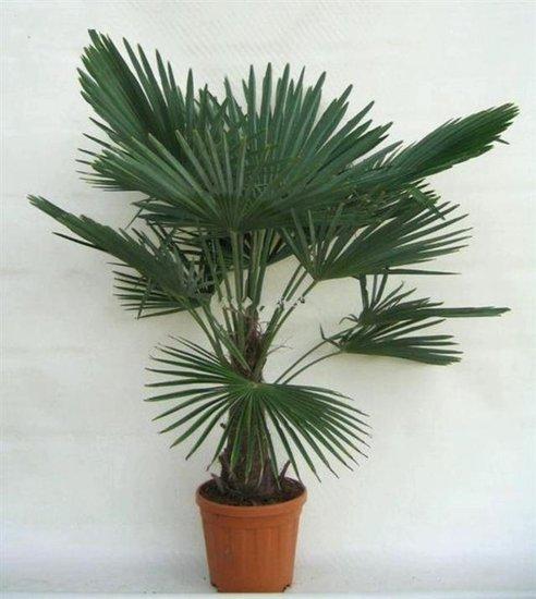 Trachycarpus fortunei Stamm 30-40 cm