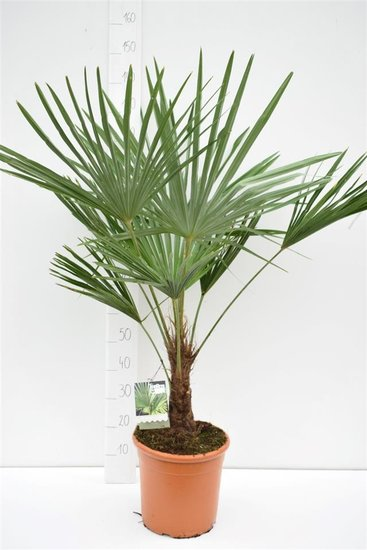 Trachycarpus fortunei Stamm 15-25 cm