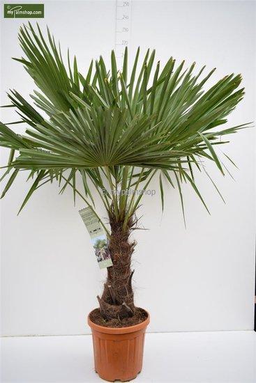 Trachycarpus fortunei Stamm 50-60 cm [Palette]