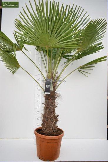 Trachycarpus fortunei Stamm 70-80 cm [Palette]