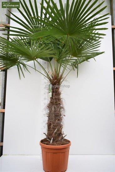Trachycarpus fortunei Stamm 80-100 cm [Palette]