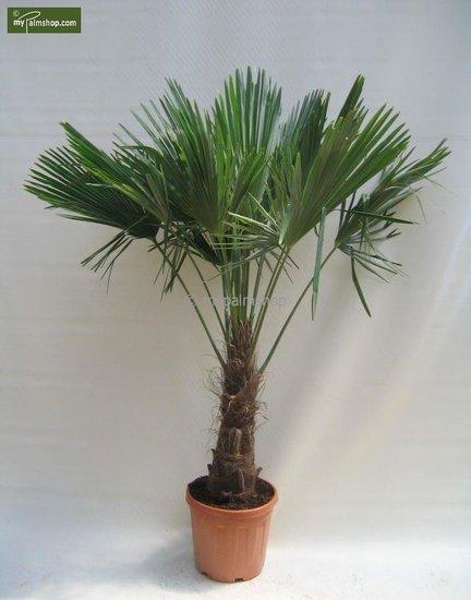 Trachycarpus fortunei Stamm 60-70 cm [Palette]