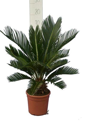 Cycas revoluta Stamm 8+ cm - Topf Ø 20 cm - Gesamthöhe 50-70 cm