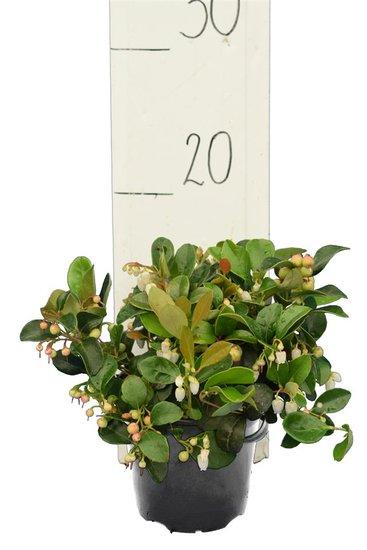 Vaccinium vitis-idea Koralle Topf Ø 11 cm