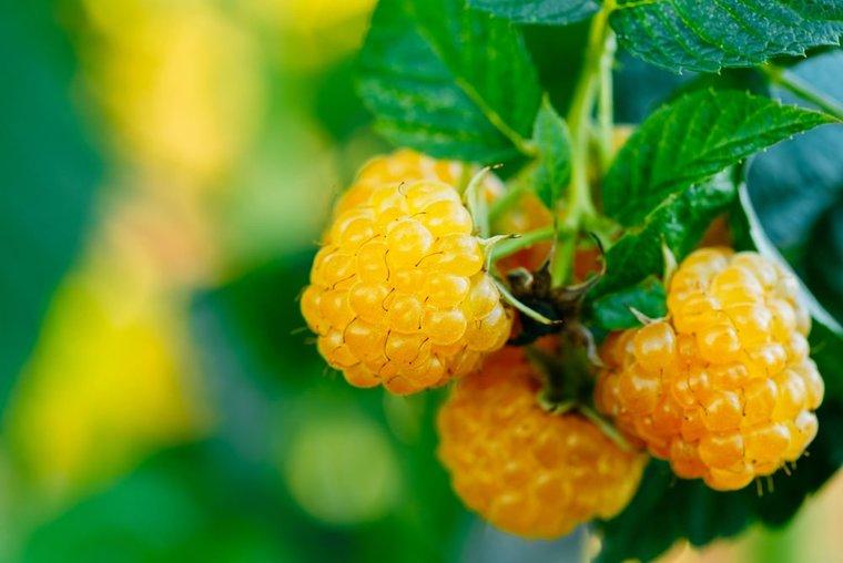 Rubus Idaeus Twotimer Sugana Gelb
