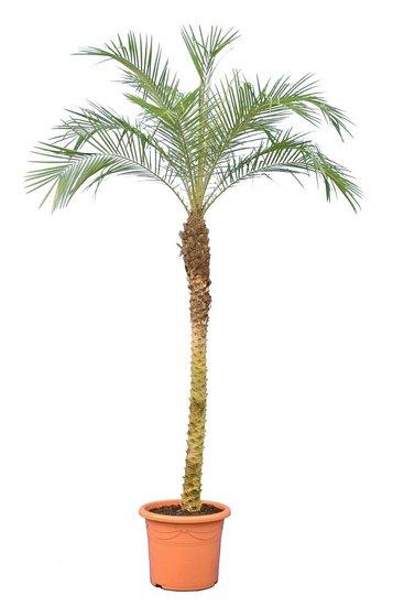 Phoenix roebelenii - Stamm 120-140 cm - Gesamthöhe 200+ cm - Topf 45 cm [Palette]
