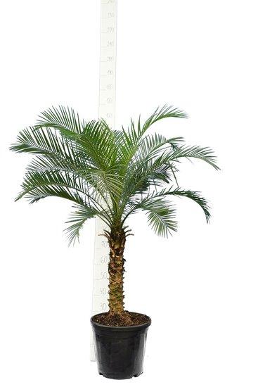 Phoenix roebelenii - Stamm 50-60 cm - Gesamthöhe 120-140 cm - Ø 27 cm Topf [Palette]