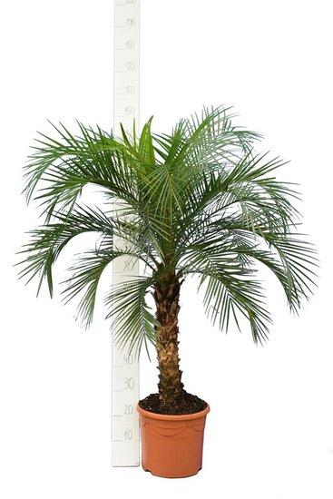 Phoenix roebelenii -  Stamm 60-80 cm - Gesamthöhe 140-180 cm - Topf Ø 35cm [Palette]