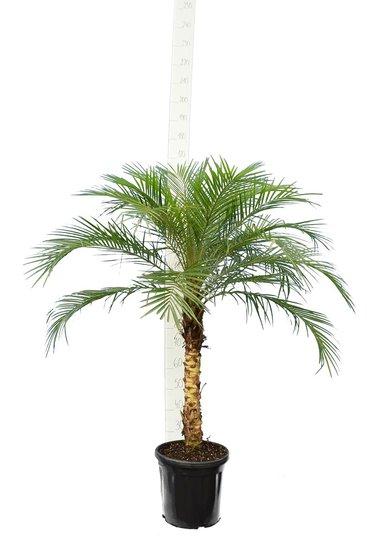 Phoenix roebelenii - Stamm 40-50 cm - Gesamthöhe 110-130 cm - Topf Ø 27 cm [Palette]
