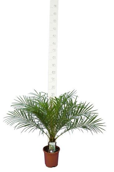 Phoenix roebelenii - Stamm 5-10 cm - Gesamthöhe 60-80 cm - Topf Ø 20 cm