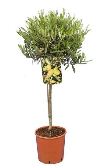 Olea europaea Kugel auf Stamm Stammhöhe 40-60 cm Stammumfang 8-12 cm
