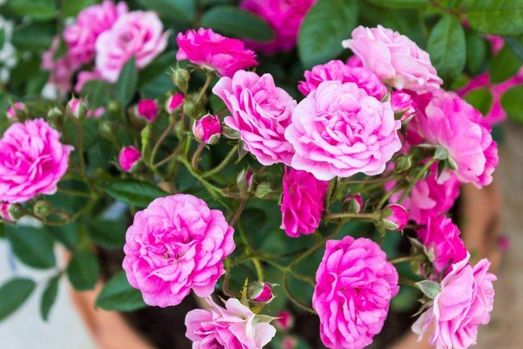 Rosa The Fairy Ø 11 cm Topf