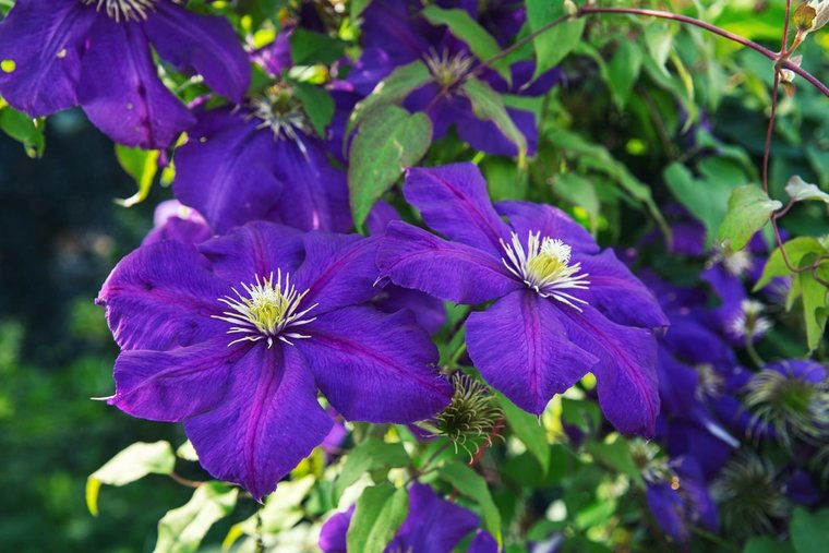 Clematis 'The President' - 1,5 Ltr Topf