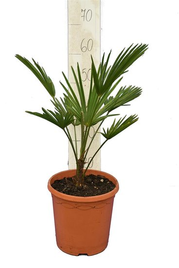 Trachycarpus wagnerianus - Gesamthöhe 50-70 cm - Topf Ø 23 cm