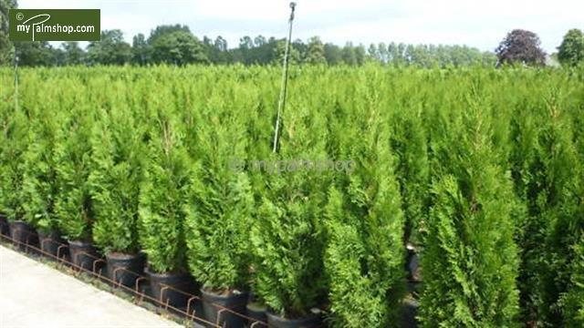 Thuja occidentalis Smaragd (TOPFWARE) - Gesamthöhe 80-100 cm - Topf 4 ltr