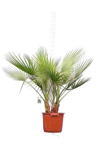 Washingtonia robusta Multistam Topf Ø 40 cm - Gesamthöhe 130-150 cm [Palette]