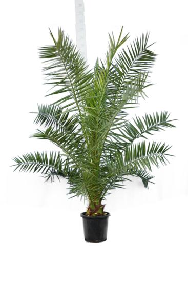 Phoenix canariensis - Gesamthöhe 200+ cm - Topf Ø 35 cm [Palette]