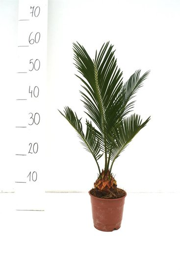 Cycas revoluta Ø 12 cm Topf - Gesamthöhe 35-45 cm