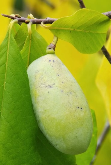 Asimina triloba Mango - Gesamthöhe 60-80 cm - 2 ltr Topf