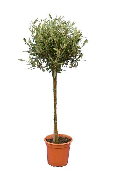 Olea europaea Kugel auf Stamm Stammhöhe 60-80 cm Stammumfang 8-12 cm Topf Ø 23 cm