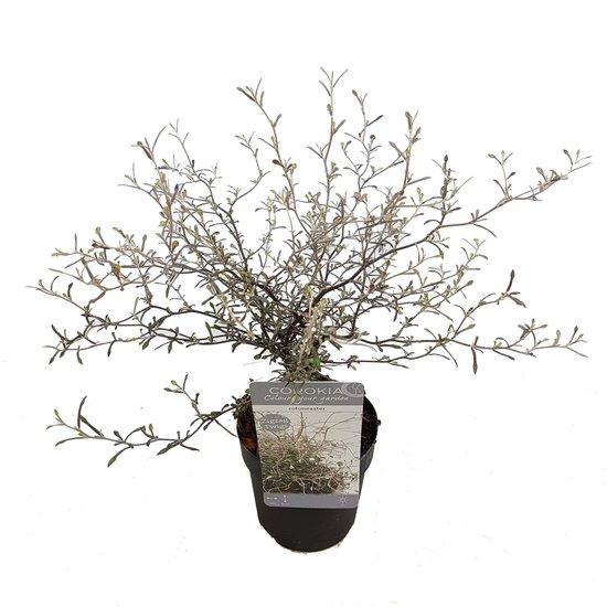 Maori Silver leaf - Gesamthöhe  50-60 cm - Topf Ø 15 cm