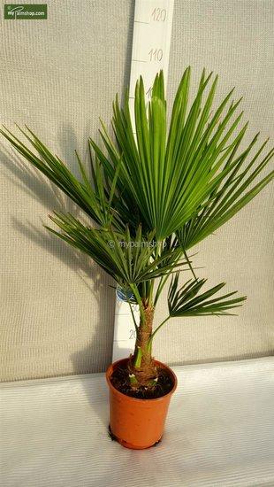 Trachycarpus fortunei - Gesamthöhe 70-90 cm - Topf Ø 22 cm