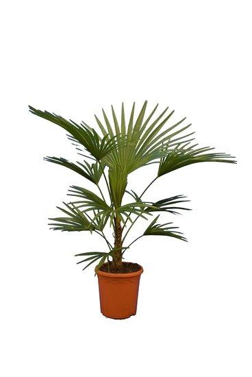 Trachycarpus sp. Nova - Stamm 20-30 cm - Gesamthöhe 100-120 cm - Topf Ø 26 cm