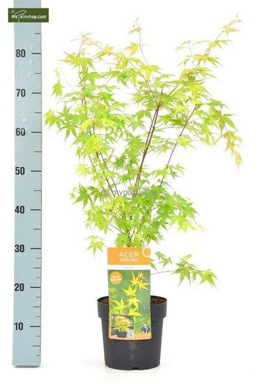 Acer palmatum Katsura Gesamthöhe 50-60 cm - Topf 3 ltr