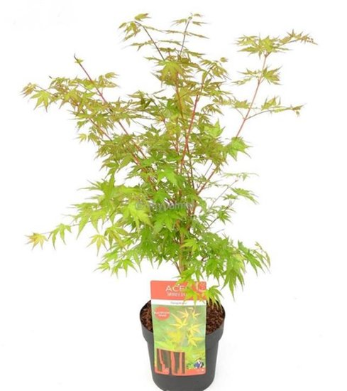Acer palmatum Sangokaku - Gesamthöhe 60-80 cm - Topf 3 ltr