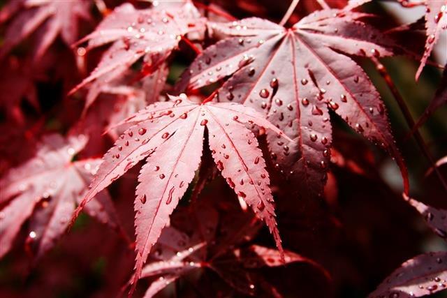 Acer palmatum Bloodgood - Gesamthöhe50-60 - Topf 3 ltr