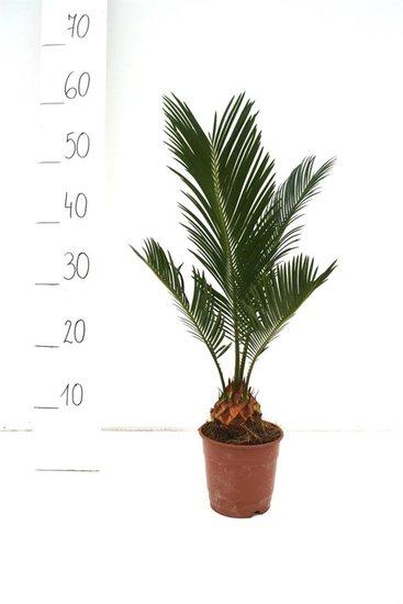 Cycas revoluta - Gesamthöhe 35-45 cm - Ø 12 cm Topf