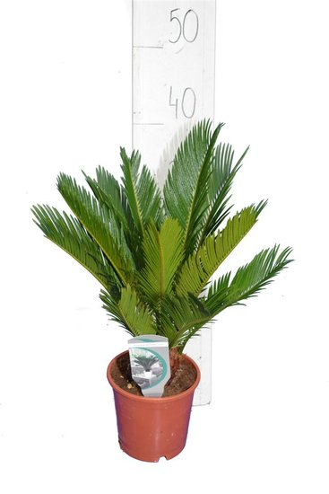 Cycas revoluta - Gesamthöhe 35-45 cm - Topf Ø 14 cm