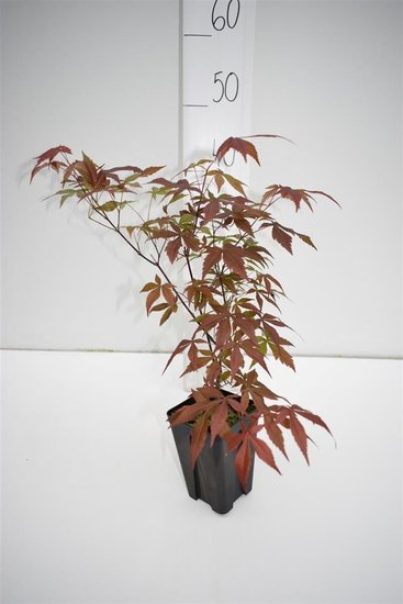 Acer palmatum Atropurpureum dunkelviolett - Gesamthöhe 30-40 cm - 9x9 cm Topf