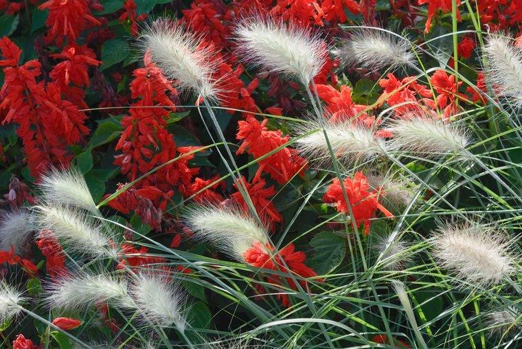 Pennisetum alopecuroides Little Bunny - Gesamthöhe 40-50 cm - Topf 2 ltr