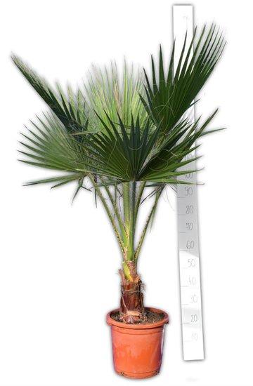 Washingtonia robusta - Stamm 20-30 cm - Gesamthöhe 150-180 cm - Topf Ø 32 cm