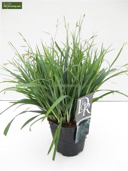Carex laxiculmis Bunny Blue - Gesamthöhe 40-50 cm - Topf 2 ltr