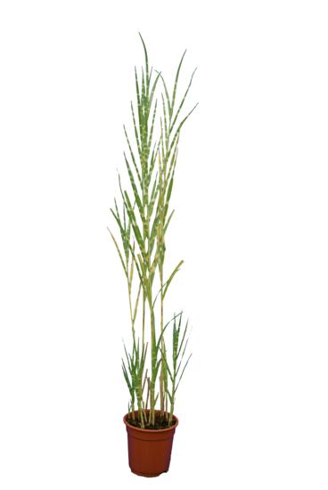 Miscanthus sinensis Strictus - Gesamthöhe 130-170 cm - Topf Ø 17 cm