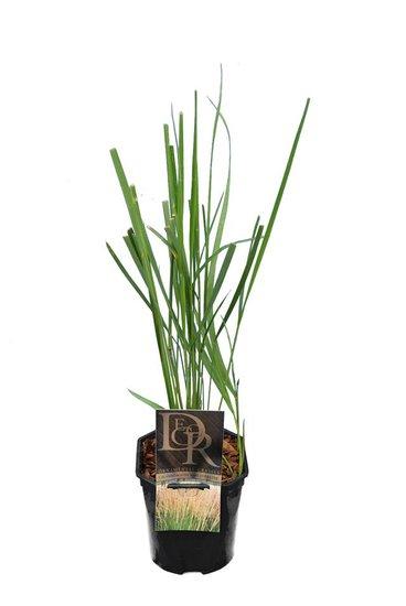 Calamagrostis acutiflora Karl Foerster - Topf 2 ltr