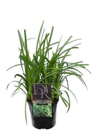 Carex foliosissima Irish Green - Topf 2 ltr