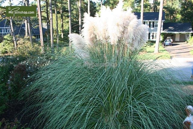 Cortaderia selloana Pumila - Gesamthöhe 40-50 cm - Topf 2 ltr