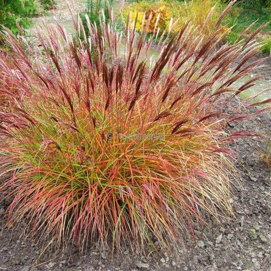 Miscanthus sinensis Red Chief - Gesamthöhe 50-60 cm - Topf 2 ltr