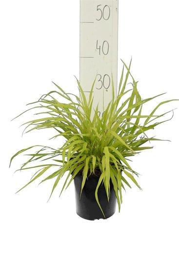 Hakonechloa macra Allgold - Gesamthöhe 30-40 cm - Topf 2 ltr