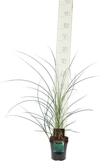 Miscanthus sinensis Gracillimus - Topf 2 ltr