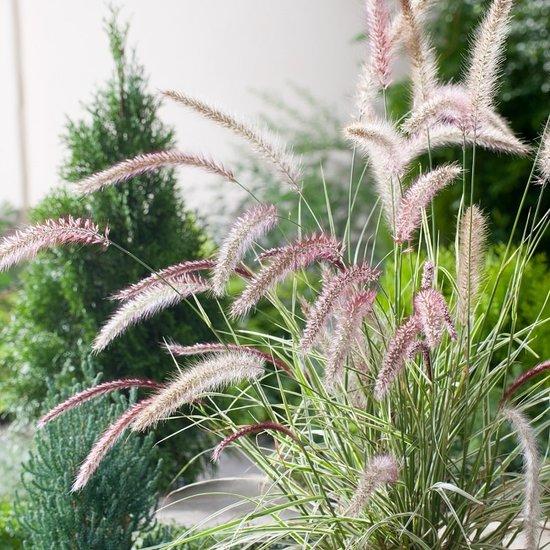 Pennisetum setaceum Skyrocket - Gesamthöhe 40-50 cm - Topf 2 ltr