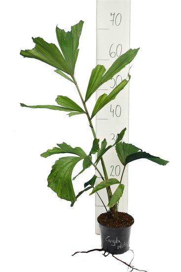 Caryota mitis - Gesamthöhe 40-60 cm - Topf Ø 14 cm