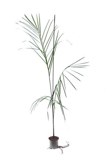 Dypsis plumosa - Gesamthöhe 100-120 cm - Topf Ø 12 cm