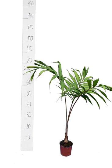Dypsis lanceolata - Gesamthöhe 30-40 cm - Topf ø 13 cm