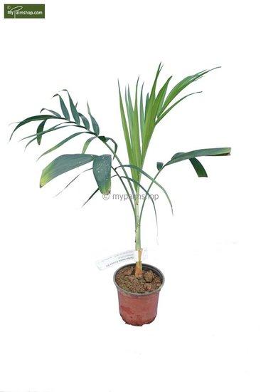 Chamaedorea radicalis - Gesamthöhe 40-50 cm - pot Ø 13 cm