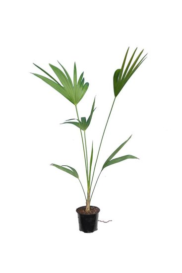 Thrinax parviflora -  Gesamthöhe 80-100 cm - Topf Ø 12 cm